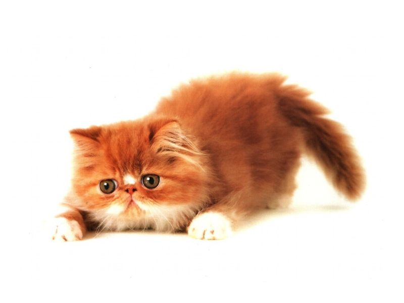 Orange_cat_wallpaper-29083